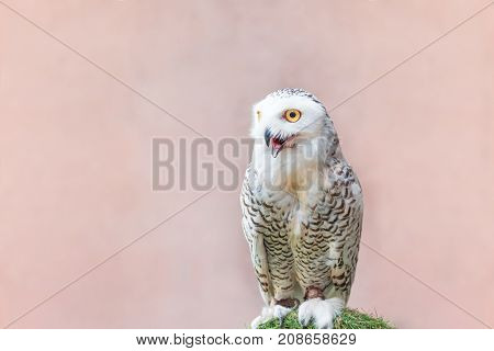 White Snowy Owl on green wood tree.