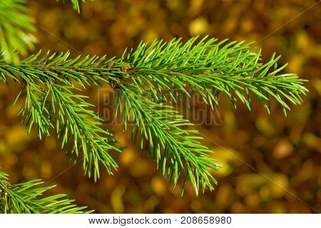 Branch coniferous tree spruce with green needles closeup on the background blur of autumn leaves of different colors, autumn landscape