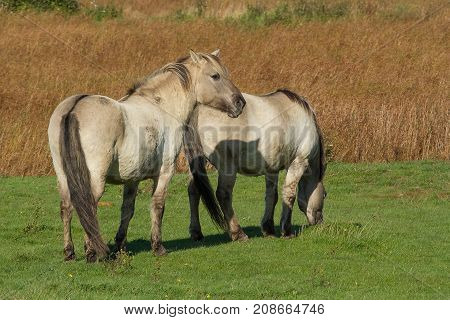 photo of two Konik wild horses one looking and one grazing