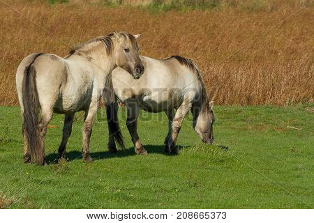 photo of a pair of Konik Wild horses