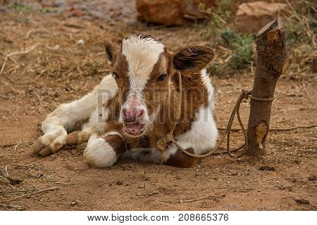 photo of a young calf sitting chewing the cud