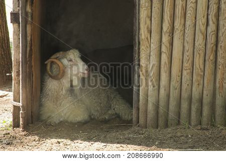 Beautiful portrait of aries in the stable