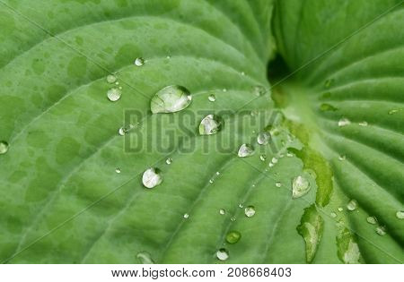 Crystal clear raindrops settle on the surface of a Hosta Leaf
