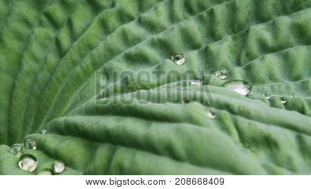 Crystal clear raindrops settle on the surface of a Hosta Leaf