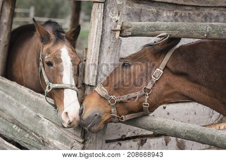 Two horses are kissing in the stables