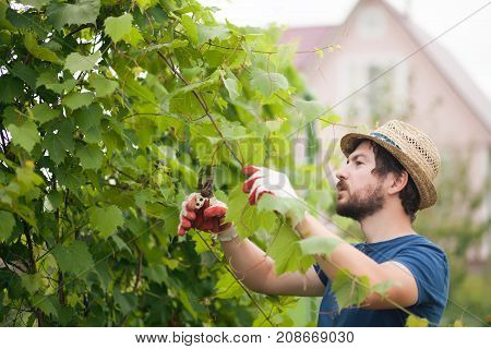 Handsome Farmer Working At The Garden, Pruning Grape Plant