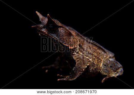 The long-nosed horned frog isolated on black background