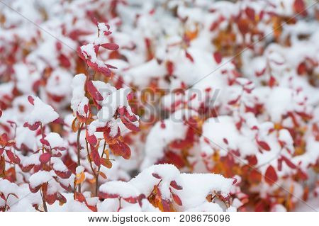 Red leaves of blueberry covered with snow