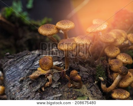 Several Edible Mushrooms With A Brown Hat Lie On The Autumn Grass