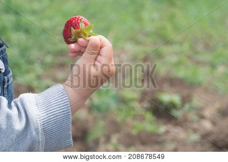 Baby's hand holds ripe strawberry on the background of the grass and ground