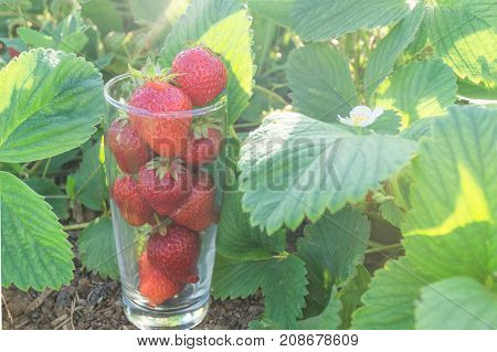 Glass full of red strawberries stands on the green field of strawberries