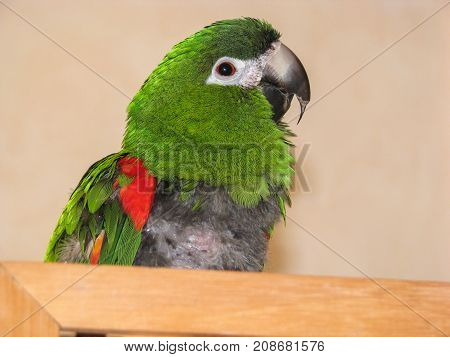 Hahn's macaw parrot with over grown beak and FDB feather destructive behaviour on chest. Visible symptoms of active psittacosis also know as parrot flu and chlamydia due to infection in the liver.