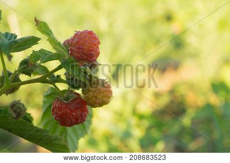 Three raspberries of different ripeness grows in the garden
