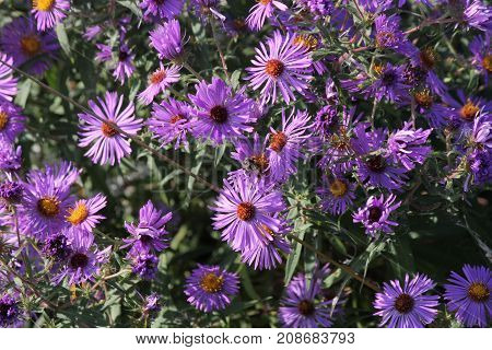 New England Aster (Symphyotrichum novae-angliae), growing in a clearing beside a country road.