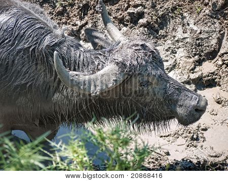 Buffalo covering itself in nice, cool mud - lovely!! poster