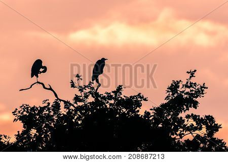 Pair of grey herons (Ardea cinerea) silhouetted preening and sitting in tree. Large birds in the family Ardeidae at dusk on top of oak tree