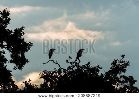 Pair of grey herons (Ardea cinerea) silhouetted sitting on tree. Large birds in the family Ardeidae at dusk on top of oak tree