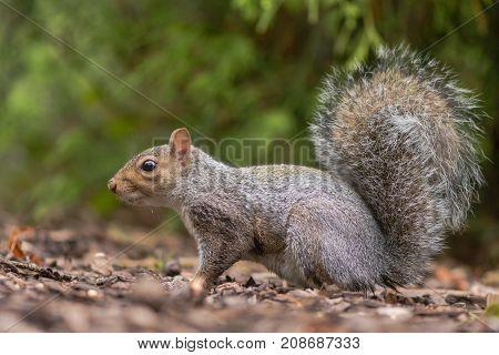 Eastern gray squirrel (Sciurus carolinensis) in profile. Rodent in the family Sciuridae foraging on woodland floor