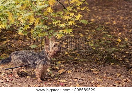 Pets at autumn Yorkshire terrier dog walking in autumn woodland