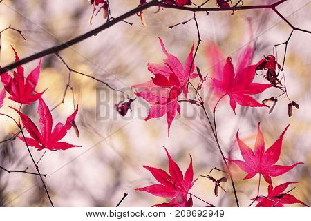 Autumn vivid Maple leaves in nature woodland