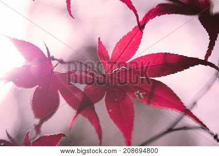 Autumn colours, autumn woodland and pink Maple leaves