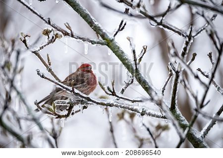 A bird (house finch) perching in an icy tree
