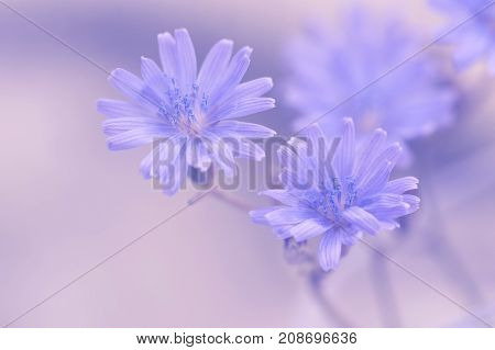 Blue chicory flowers on a gentle background with toning. Selective focus.