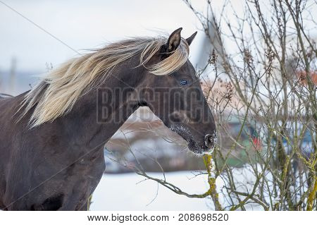 Rocky Mountain horse of silvery-black color in wintwr