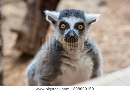 Closeup of a ring tailed captive lemur in a family zoo with emphasis on its eyes and gaze