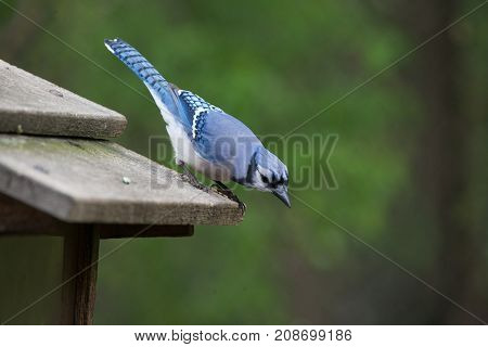 A Blue Jay Looking for Food at a Ojibway Nature Reserve in Windsor Ontario Canada