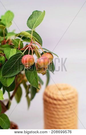 Bonsai apple dwarf with young fruits of apples on a gray light background and garden tools.