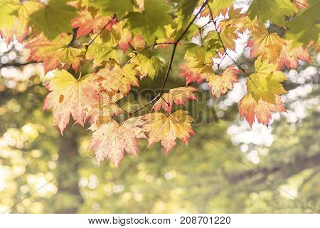 Nature, Autumn Sycamore leaves in Autumnal woodland