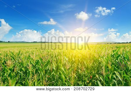 sun rise over the green corn field