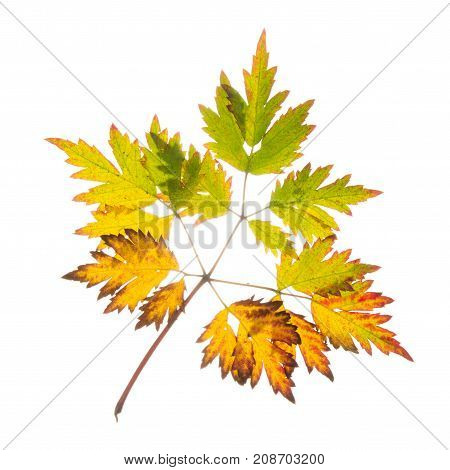yellow green oranger autumn beautiful leaf on white isolated background