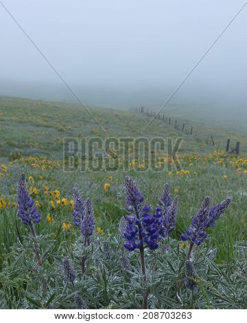 Portrait of Lupine and Fence Row in Fog, Columbia Gorge, Oregon