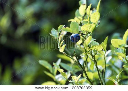 Ripe single bilberry on a green bush (Vaccinium myrtillus)