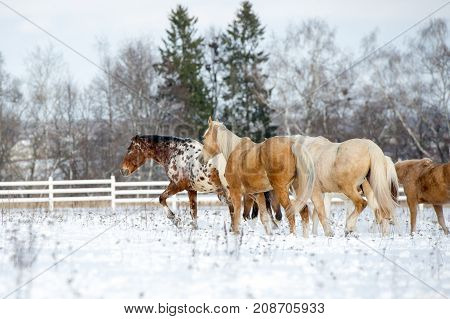 Herd of colorful horses - appaloosa palomino bay- running through a snowy field gallop