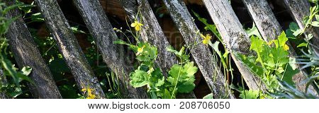 Old Wooden fence with green climber plants