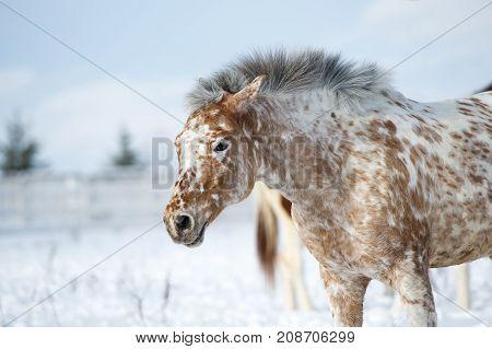 Nice pretty Altai Appaloosa horse looking portrait