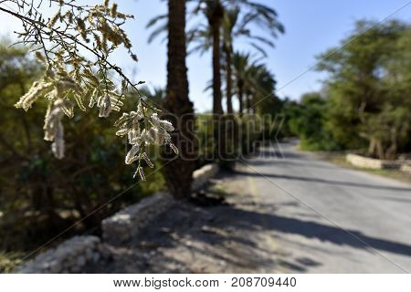 Trees flowering spike above road in Ein Gedi National park Israel