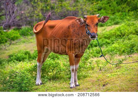 A brown cow brush off away from a large swarm of flies. Animals on the Gili Trawangan island, Indonesia.