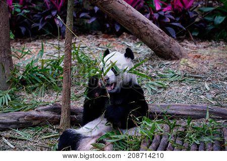 Big panda bear sitting and feeding itself by eating green bamboo leaves outside