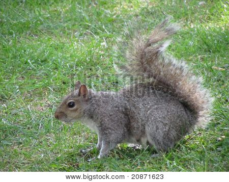 Side view of a Grey Squirrel on Grass poster