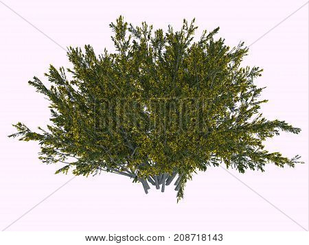 Creosote Bush 3d illustration - The creosote bush is a desert plant and survives the harsh climate with its ability to secure more water by inhibiting the growth of nearby plants.