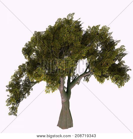 English Oak Tree 3d illustration - The Oak tree comes in 600 different species as a deciduous or evergreen variety and develops an acorn fruit nut.