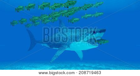 Megalodon Undersea 3d illustration - A huge Megalodon shark sneaks up behind a Chinook salmon as it strays from a school of salmon in open sea.