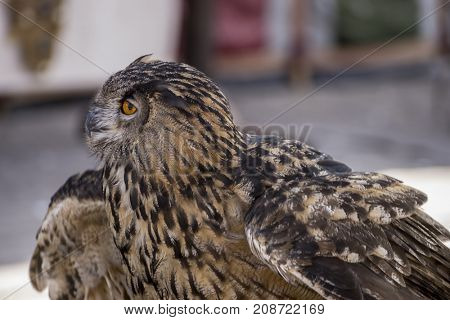 Wildlife, beautiful owl in a medieval fair with exhibition of birds of prey