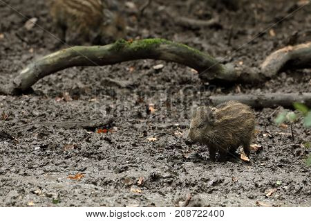 Wild boars and piglets in the forest