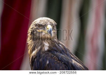 beautiful eagle in a display of birds of prey