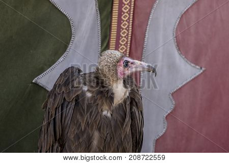 vulture at an exhibition of birds of prey at a medieval fair in spain